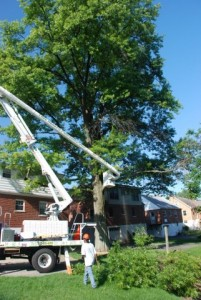 Trimming Tree with Bucket Truck - Gregory Forrest Lester, Inc.