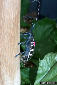 Adult Asian Longhorned Beetle