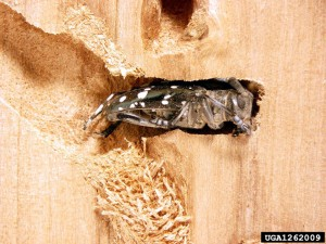 Asian longhorned beetle boring into wood (photo courtesy of Michael Bohne, Bugwood.org)