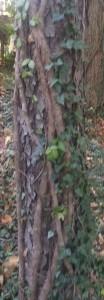 Remove Ivy from Trees in Cincinnati
